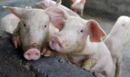 Dilanda Wabah, Populasi Babi di Bali Kian Merosot